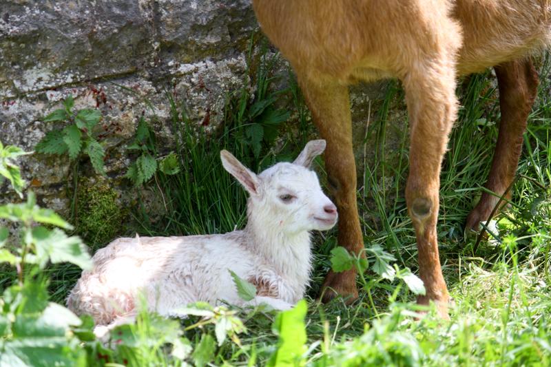 Le troupeau de chèvres s'agrandit
